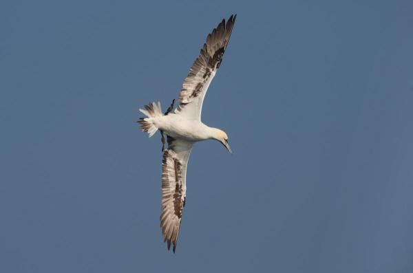 Foto van een Jan-van-gent, Noordzee, Nederland