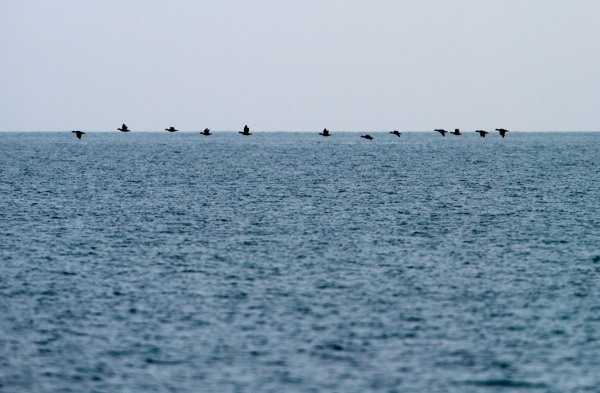 Foto van Zwarte Zee-eenden, Noordzee, Nederland
