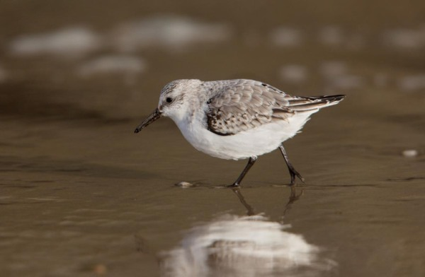 Photo of a Sanderling, Ostend, Belgium