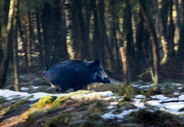 Foto van een Wild Zwijn, Planken Wambuis