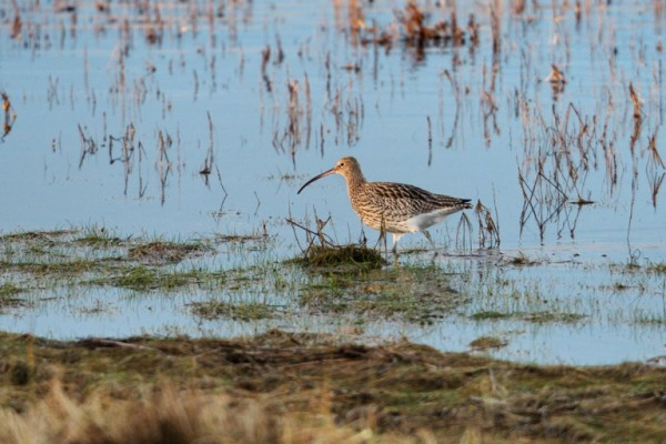 Photo of a Curlew, Agger Tange, Thy, Denmark