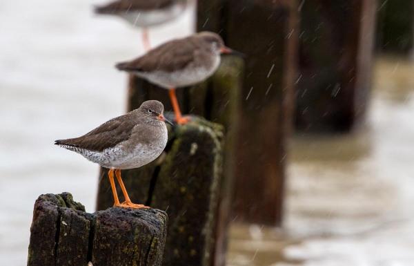 Foto van Tureluurs, Sheppey, Kent. Engleland, Verenigd Koninkrijk