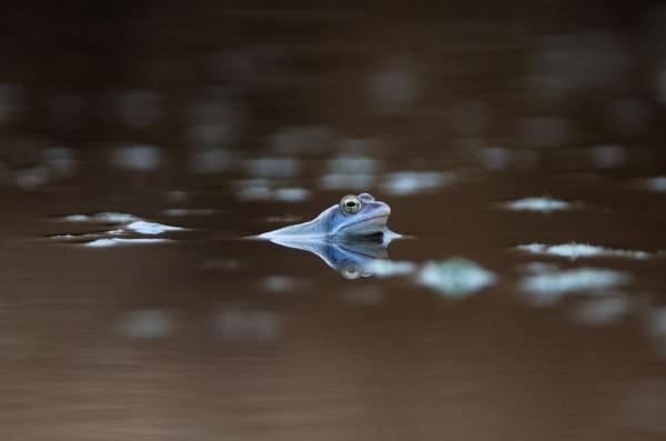 Foto van een Heikikker, Engbertsdijksvenen, Twente, Nederland