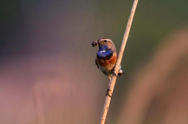 Foto van een Blauwborst, Groene Jonker