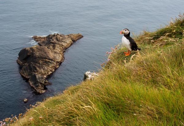 Foto van een Papegaaiduiker, Sumburgh Head, Mainland