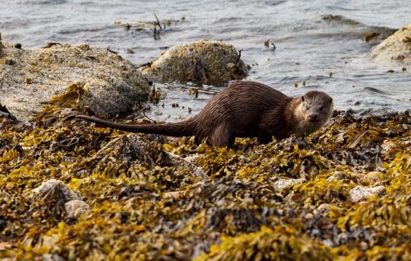 Foto van een Otter, Sullom Voe, Mainland, Shetland