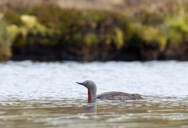 Foto van een Roodkeelduiker, Yell, Shetland