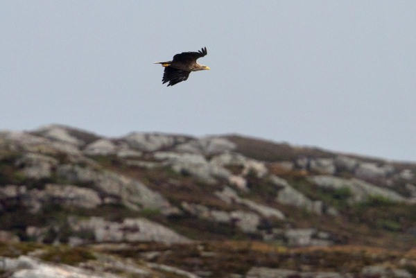 Foto van een Zeearend, Alvheim, Øygarden, Noorwegen