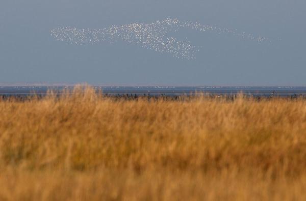 Foto van een zwerm kustvogels, Uithuizen, Groningen