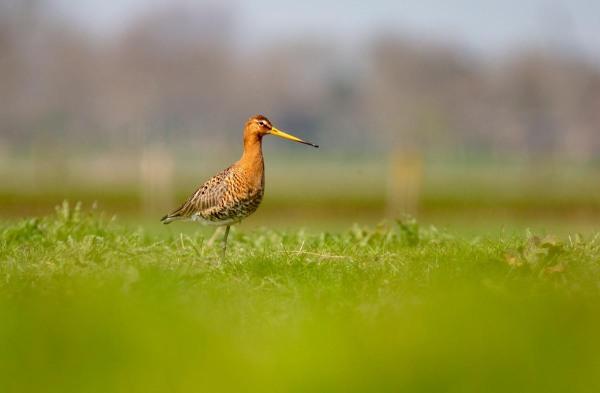 Foto van een Grutto, West-Friesland