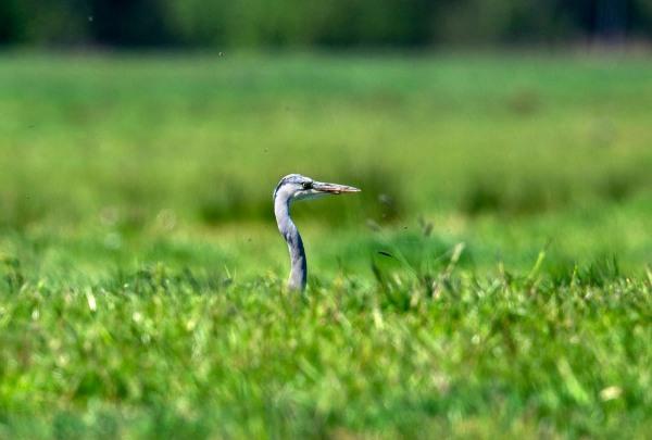 Foto van een blauwe reiger, Krimpenerwaard