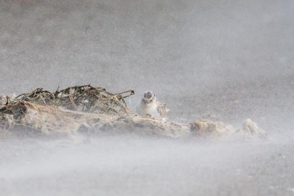 Foto van een dwergstern, Texel, Nederland