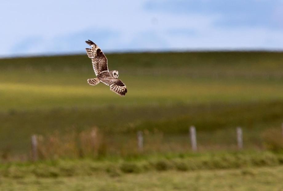 Foto van een Velduil, Orkney