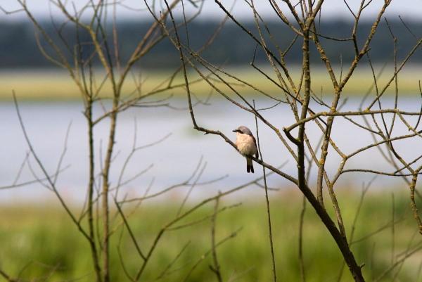 Foto van een grauwe klauwier, Polen