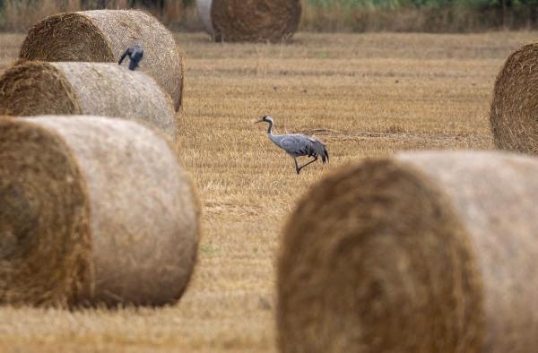 Foto van een kraanvogel, Duitsland