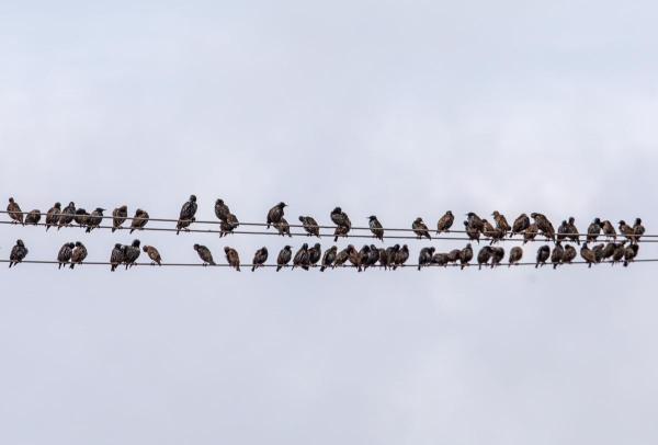 Foto van spreeuwen, Duitsland