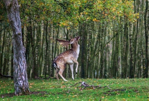 Foto van een damhert, Nationaal park Utrechtse Heuvelrug