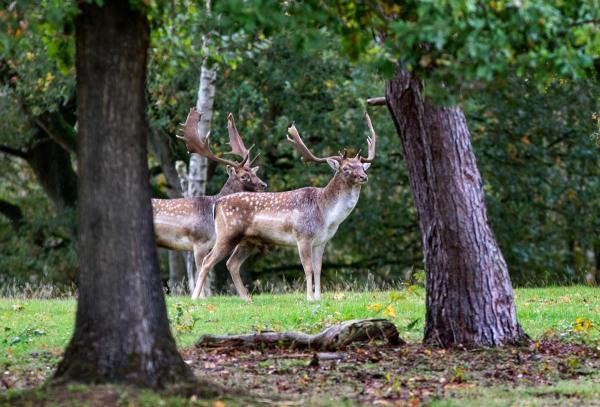 Foto van damherten, Nationaal park Utrechtse Heuvelrug