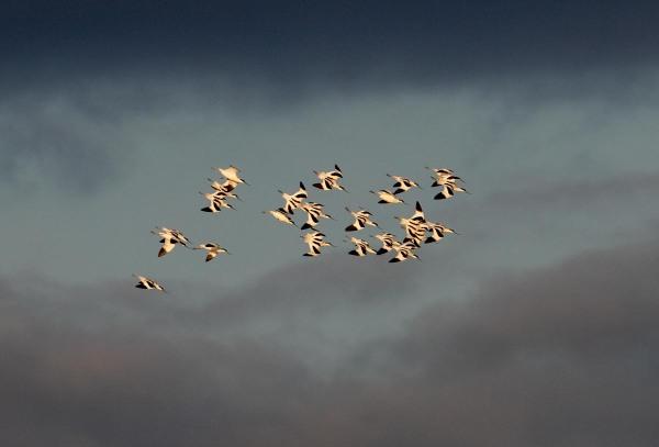 Foto van kluten, Texel