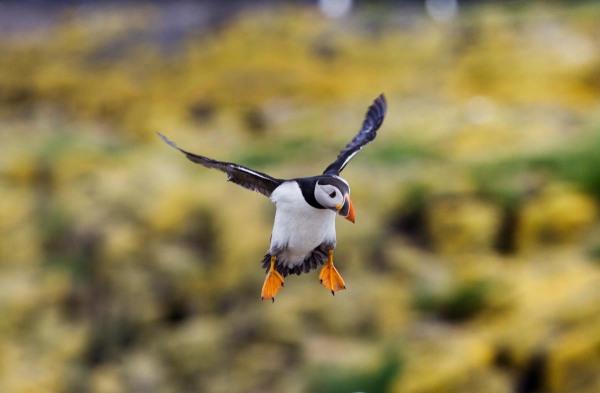 Foto van een papegaaiduiker, Farne Islands, Engeland