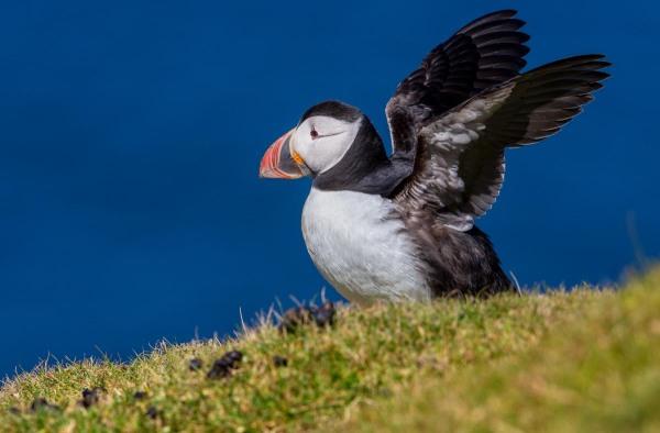 Foto van een papegaaiduiker, Hermaness, Unst, Shetland