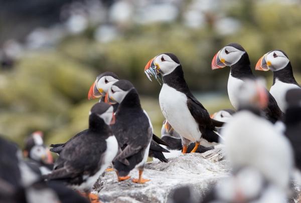 Foto van papegaaiduikers, Farne Islands, Engeland