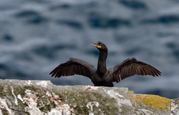 Foto van een kuifaalscholver, Mousa, Shetland