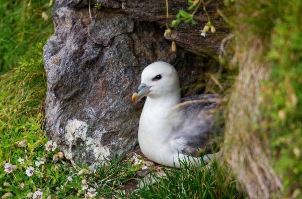 Foto van een noordse stormvogel, Fetlar, Shetland