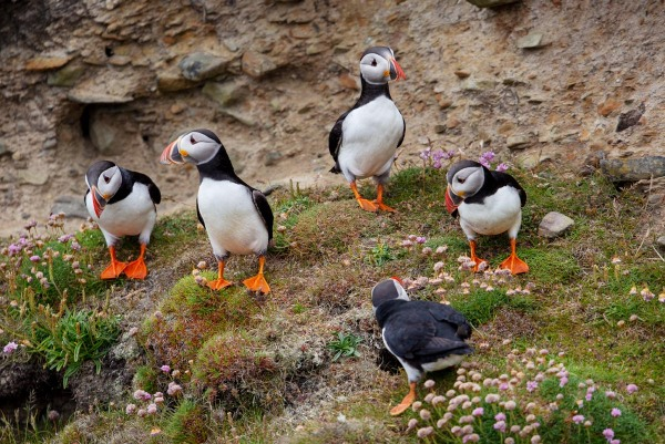 Foto van papegaaiduikers, Sumburgh Head, Shetland