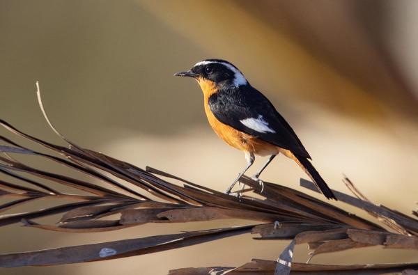 Foto van een Diadeemroodstaart, Souss-Massa National Park, Marokko