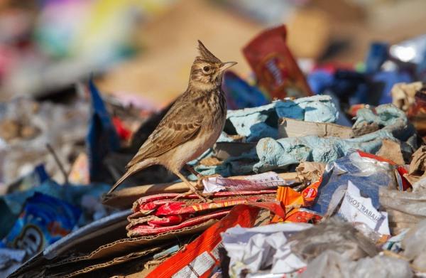 Foto van een Kuifleeuwerik, Larache, Marokko