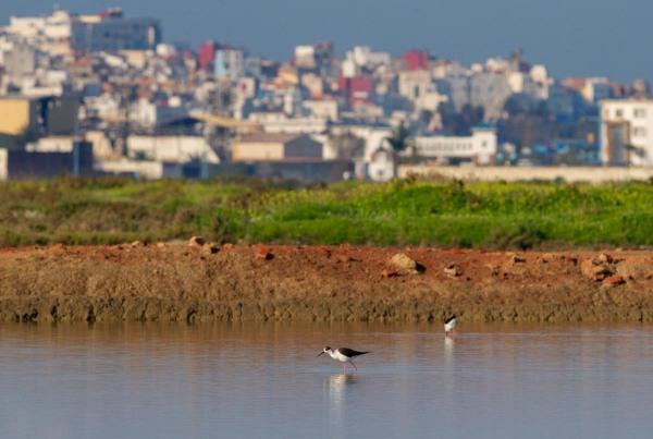 Foto van Steltkluten, Larache, Marokko