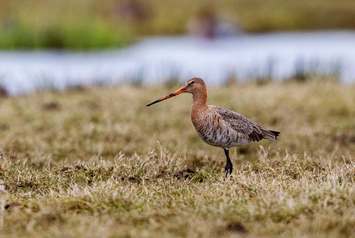 Foto van een Grutto, polder de Nesse , Krimpenerwaard