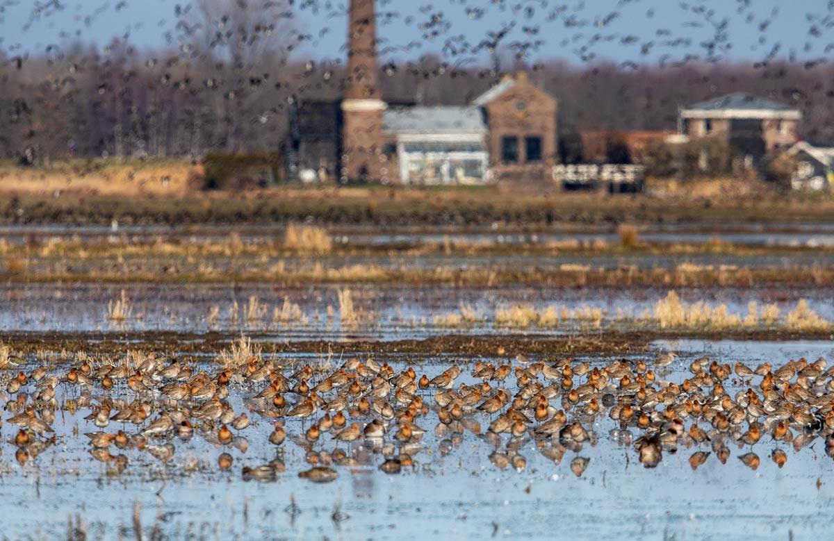 Foto van Grutto's, polder Arkemheen, Nijkerk