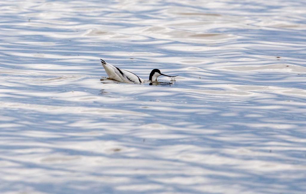 Foto van een kluut, Ezumakeeg, Lauwersmeer