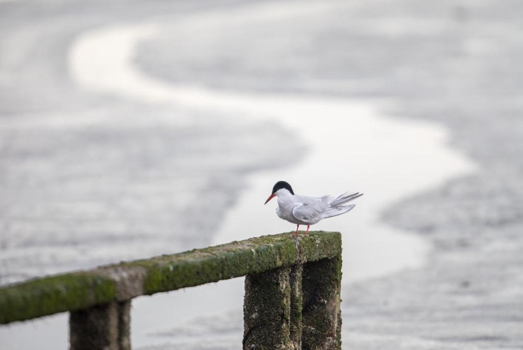 Foto van een visdief, Lauwersmeer