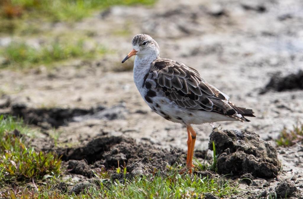 Foto van een kemphaan, Nationaal Park, Lauwersmeer