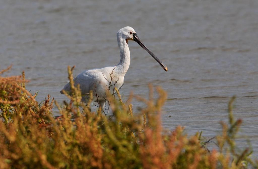 Foto van een lepelaar, Nationaal Park, Lauwersmeer