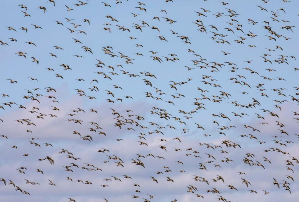 Foto van goudplevieren, Nationaal Park Lauwersmeer